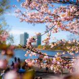 Sakura Blossom tree in North High Park.